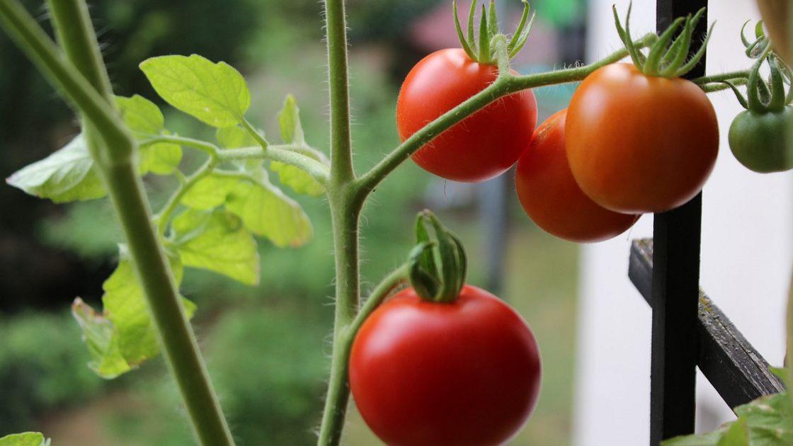 Pomidory Na Balkonie Pomidory W Doniczkach
