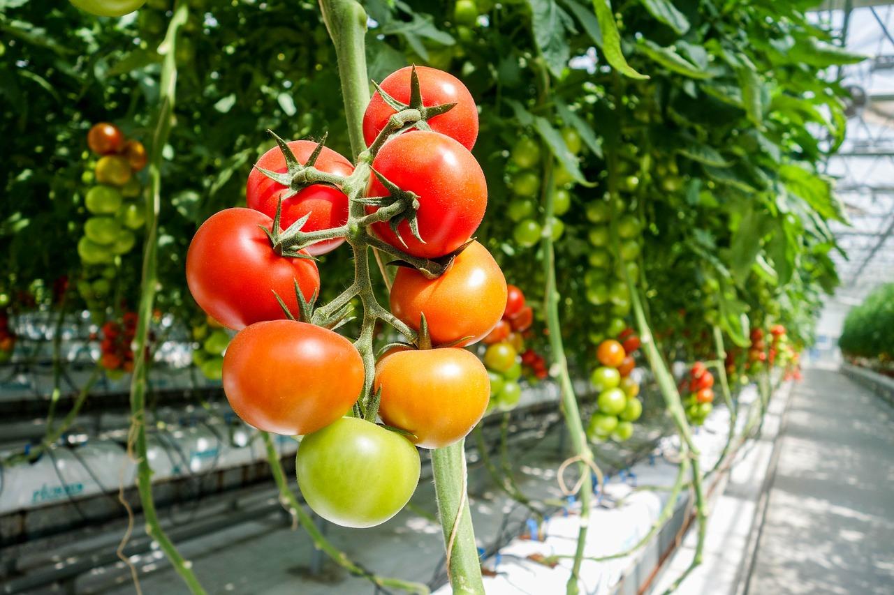 Domowa szklarnia - pomidory